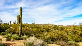 O grande cacto do Saguaro e muitos outros cactos e arbustos no deserto montanhoso ajardinam perto do lago Bartlett imagens de stock