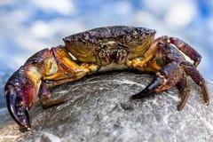 O grande caranguejo de pedra vai à água no litoral Fotografia de Stock