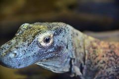 O grande dragão do comodo do lagarto fotografia de stock royalty free