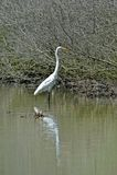 O grande egret Foto de Stock Royalty Free