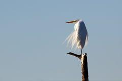 O grande egret empoleirou-se no membro de árvore no vento Imagens de Stock Royalty Free