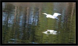 O grande Egret voa sobre águas calmas Imagens de Stock
