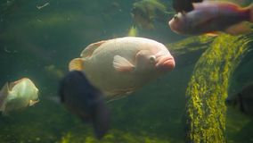 O grande flamingo cor-de-rosa dos peixes nada no aquário filme