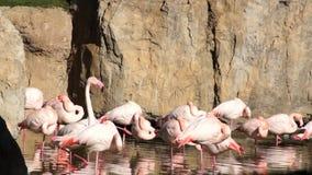 O grande flamingo cor-de-rosa limpa penas no parque natural da lagoa video estoque