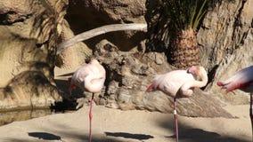 O grande flamingo cor-de-rosa limpa penas no parque natural da lagoa filme