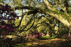 O grande gotejamento velho de Live Oak Trees com musgo espanhol e as samambaias na mola em uma azálea jardinam Foto de Stock