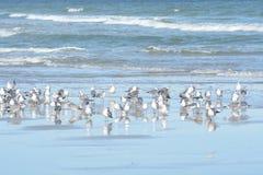 O grande grupo de gaivotas é a fatura de um rebanho beneficiente da galinha ilha-baseada imagem de stock