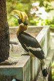 O grande hornbill indiano do grande Hornbill, grande hornbill pied, um de membros maiores da família do hornbill, por muito tempo imagens de stock