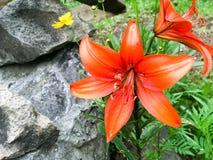 O grande lírio vermelho floresce com grande proposta fresca suculenta das pétalas na perspectiva da grama verde e das pedras fotos de stock royalty free