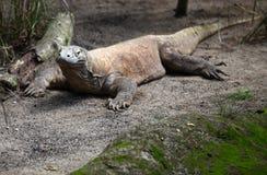 O grande lagarto descansa na terra, Singapura Imagens de Stock Royalty Free