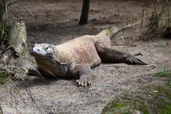 O grande lagarto descansa na terra, Singapura Foto de Stock