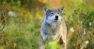O grande lobo cinzento cheira após rivais e perigo na floresta