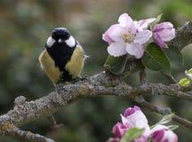 O grande melharuco empoleirou-se na árvore de maçã na flor Foto de Stock