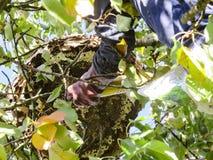 O grande ninho de vespas asiáticas dos zangões pendura em cima em um ramo de árvore foto de stock