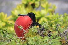 O grande pássaro de fragata masculino está atraindo uma fêmea durante a estação de acoplamento Fotografia de Stock Royalty Free