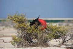 O grande pássaro de fragata masculino está procurando uma fêmea Foto de Stock