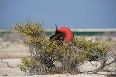 O grande pássaro de fragata masculino está procurando uma fêmea Fotografia de Stock