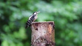 O grande pássaro fêmea principal manchado de Dendrocopos do pica-pau escava o retrato do perfil da árvore Pássaro do pica-pau que filme