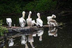 O grande pelicano branco do grupo senta em um início de uma sessão o lago Imagens de Stock Royalty Free