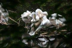 O grande pelicano branco do grupo senta em um início de uma sessão o lago Foto de Stock Royalty Free