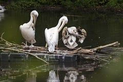 O grande pelicano branco do grupo senta em um início de uma sessão o lago Imagem de Stock