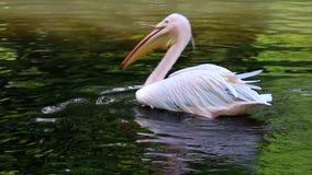 O grande pelicano está nadando na água vídeos de arquivo