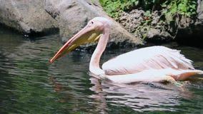 O grande pelicano está nadando na água video estoque