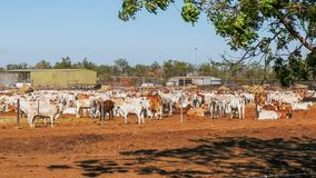 O grande rebanho de gados bovinos australianos do brahman é guardado em uma jarda do gado foto de stock royalty free