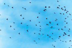 O grande rebanho dos pássaros está voando fotografia de stock
