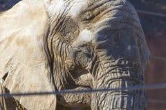 O grande retrato do elefante africano fotografia de stock