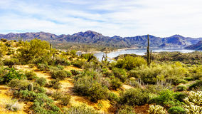 O grande Saguaro e muitos outros cactos e arbustos no deserto montanhoso ajardinam perto do lago Bartlett imagens de stock