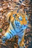 O grande tigre Siberian, um predador bonito mostra os dentes, os jogos e as poses para a câmera imagens de stock royalty free