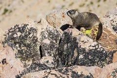 O granito da marmota balança o líquene Foto de Stock
