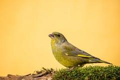 O greenfinch masculino colorido senta-se no galho seco coberto pelo musgo Imagem de Stock Royalty Free