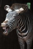 O grito de uma zebra Imagem de Stock Royalty Free