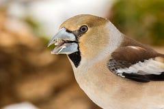 O Grosbeak está alimentando com sementes de girassol Foto de Stock