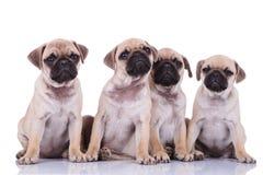 O grupo assentado adorável do pug que olha acima e que faz o cachorrinho eyes foto de stock royalty free