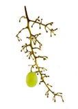 O grupo da uva com a última baga saiu nele Fotos de Stock