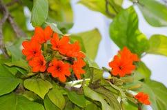O grupo das pétalas alaranjadas floresce em seu ramo com folhas verdes em uma estação de mola em um jardim botânico Foto de Stock Royalty Free