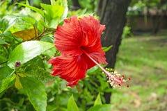 O grupo das pétalas vermelhas grandes de hibiscus havaianos floresce tampa em torno do estame longo e o pistilo, conhecido como a imagem de stock royalty free