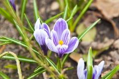 O grupo de açafrão floresce - salte na flor Foto de Stock