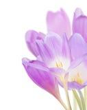 O grupo de açafrão lilás claro floresce no branco Imagens de Stock Royalty Free