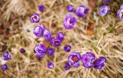 O grupo de açafrão roxo floresce em um prado da mola Flor do açafrão Fotografia de Stock Royalty Free