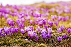 O grupo de açafrão roxo floresce em um prado da mola Flor do açafrão Fotos de Stock Royalty Free