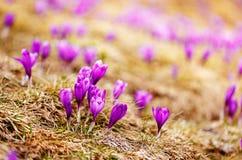 O grupo de açafrão roxo floresce em um prado da mola Flor do açafrão Imagem de Stock