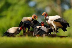 O grupo de abutre de rei, Costa Rica, grande pássaro encontrou em Ámérica do Sul Cena dos animais selvagens da natureza tropica C imagem de stock royalty free