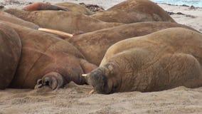 O grupo de ascendente próximo das morsas relaxa na costa do oceano ártico em Svalbard filme
