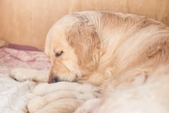 O grupo de cachorrinhos bege recém-nascidos bonitos do golden retriever tem o leite de sua mamã O cão da mamã toma de seu cachorr fotografia de stock royalty free