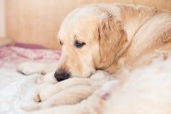 O grupo de cachorrinhos recém-nascidos do golden retriever tem o leite da mamã na caixa de madeira O cão da mamã toma de seu cach fotografia de stock royalty free