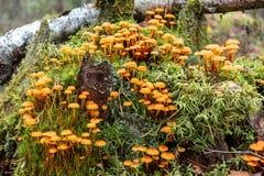 O grupo de campanella de Xeromphalina dos cogumelos da floresta chamou a trombeta dourada na floresta em um coto musgoso velho imagem de stock royalty free